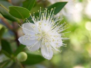 ミルトスの花